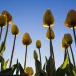 La bolla dei tulipani - Cos'è e perché è scoppiata