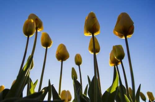 la bolla dei tulipani
